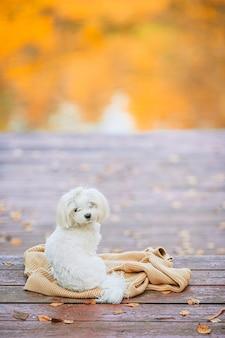 Maltese cane bianco su un molo in legno in autunno