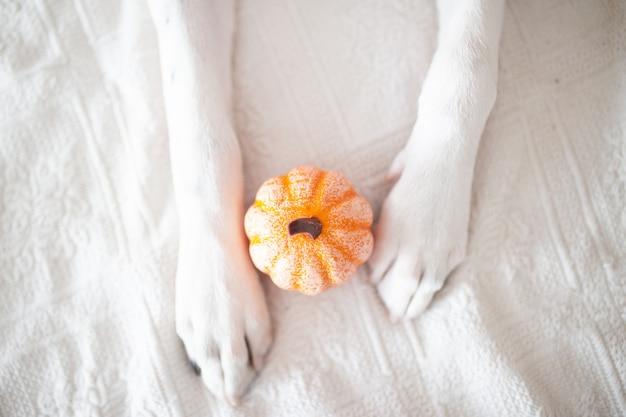 Zampe di cane bianco con una zucca.