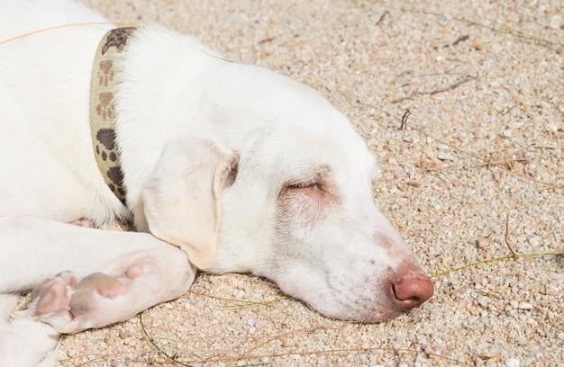 Cane bianco rilassante sulla spiaggia di sabbia