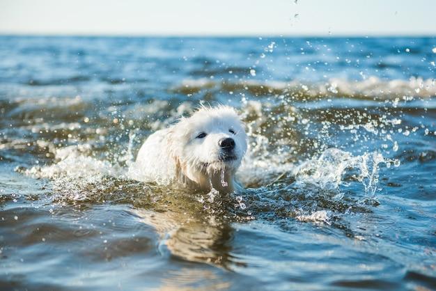 Il cane bianco samoiedo nuota nell'acqua sul mar baltico