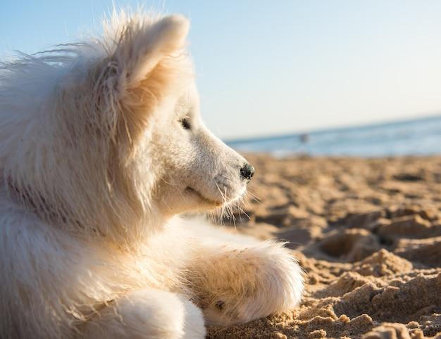 Cane bianco samoiedo cammina sulla riva del mar baltico