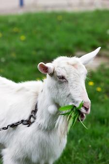 Capra domestica bianca che mastica i rami e le foglie del salice su un fondo del prato verde.