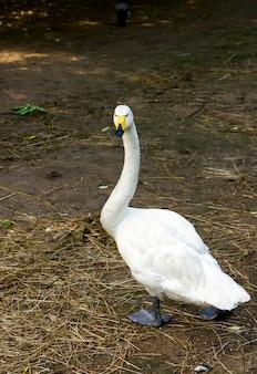 Oca domestica bianca nel cortile