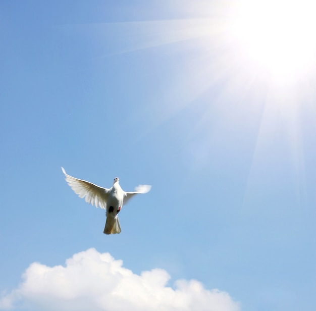 Colomba bianca nell'aria con le ali spalancate davanti al sole