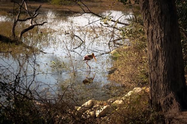 Airone bianco che guada nel lago e caccia.