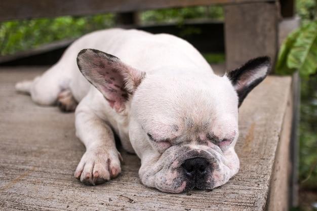 Bulldog francese del fronte bianco che dorme sul pavimento