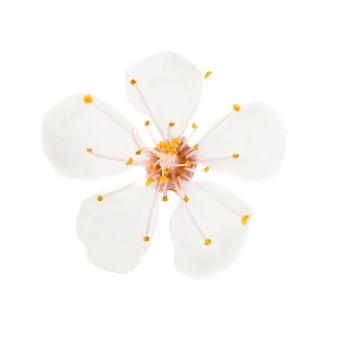 Fiore bianco di ciliegio isolato su sfondo bianco. macro ripresa in studio