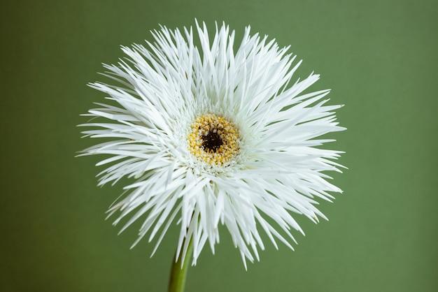 Gerbera di fiori bianchi su sfondo verde macro vista ravvicinata