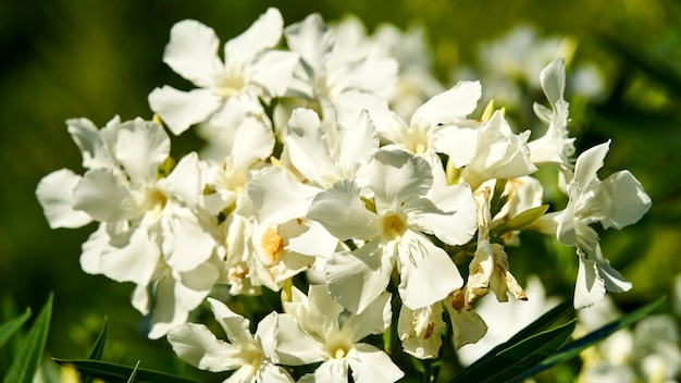 Cespuglio di fiori bianchi in piena fioritura primaverile. sochi, russia