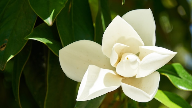 Cespuglio di fiori bianchi in piena fioritura primaverile.