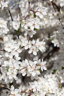 Fiori bianchi di ciliegio o altri alberi da frutto durante il clima caldo primaverile, primo piano