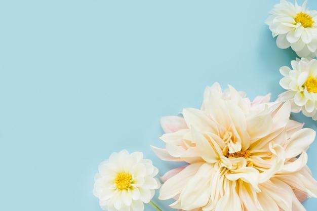 Dalie fiori bianchi su sfondo blu. composizione di fiori. lay piatto, vista dall'alto, copia spazio. estate, concetto di autunno.
