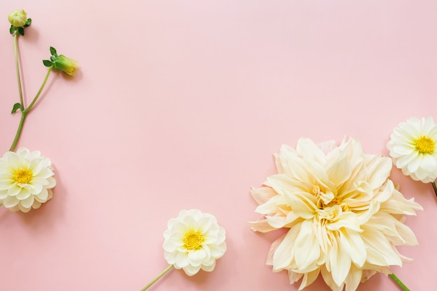 Dalie fiori bianchi su sfondo rosa. composizione di fiori. lay piatto, vista dall'alto, copia spazio. estate, concetto di autunno.