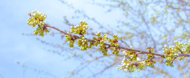 Fiori bianchi e boccioli verdi con foglie su un ramo di ciliegio