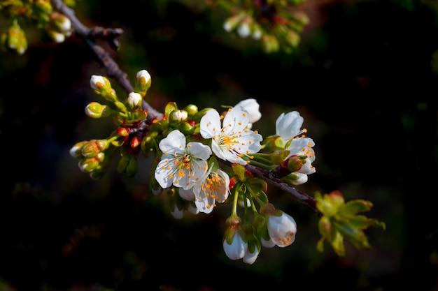 Fiori e foglie bianchi su un ramo di ciliegio su fondo nero