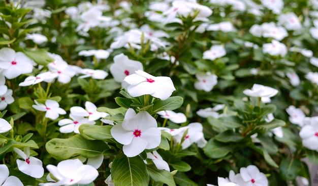 Vinca dei fiori bianchi nel giardino. belle aiuole con arbusti fioriti.
