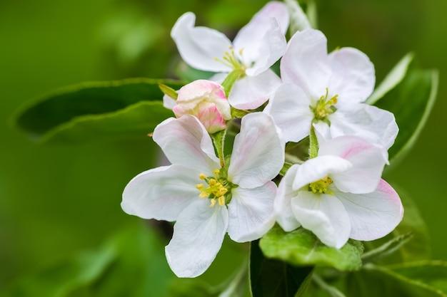 Fiori bianchi e boccioli rosa di meli su uno sfondo di fogliame verde in primavera.
