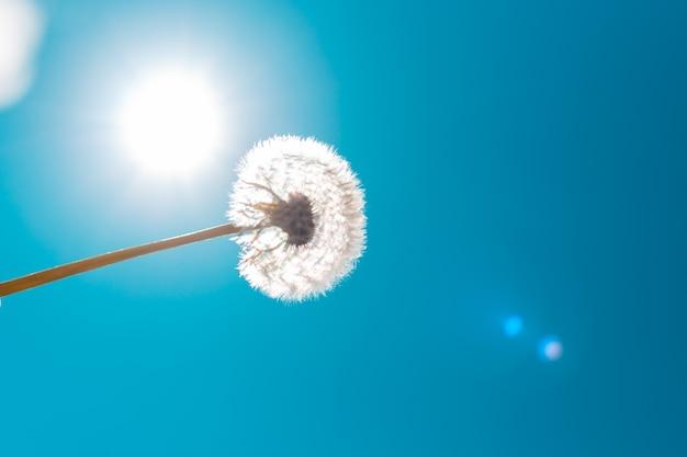 Dente di leone lanuginoso bianco sullo sfondo del sole e del cielo con bagliori di sole. concetto di libertà e sogni.