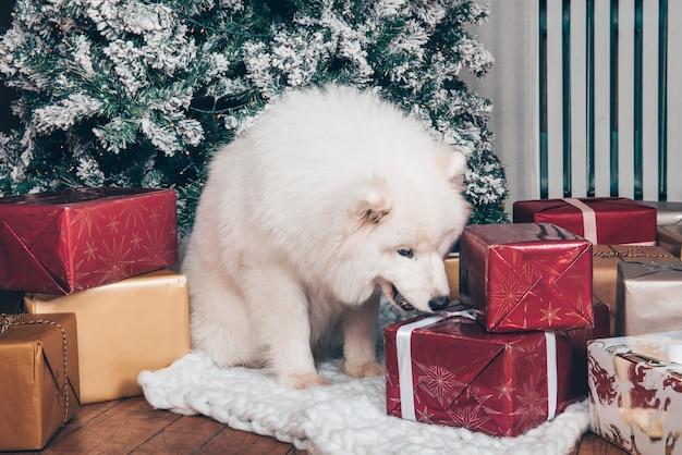 Il cane lanuginoso bianco samoiedo è seduto vicino all'albero di natale con scatole regalo.