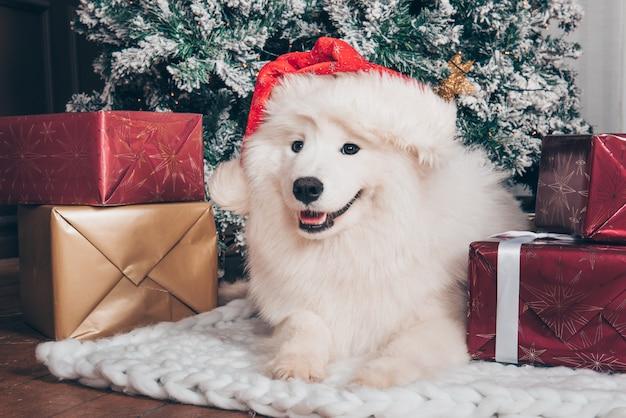 Cane lanuginoso bianco samoiedo in cappello della santa su natale