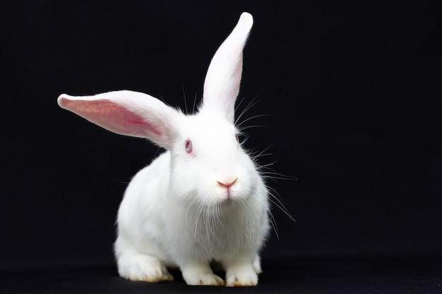 Coniglio lanuginoso bianco su sfondo nero