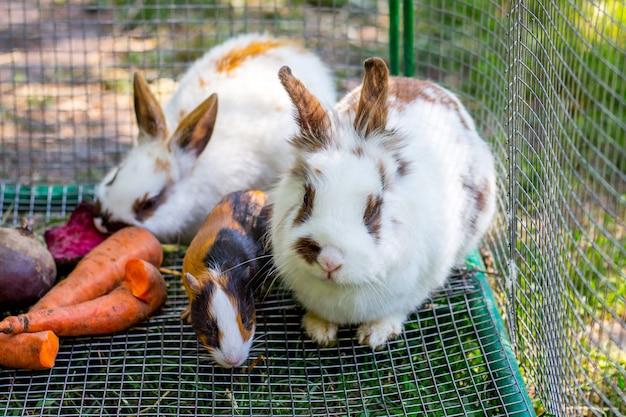 Conigli bianchi soffici e porcellino d'india mangiano carote_