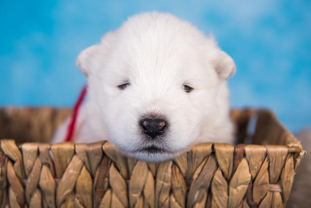 Piccolo cucciolo di cane samoiedo lanuginoso bianco in un cesto su sfondo blu