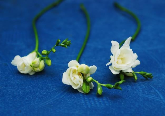 I fiori bianchi di fresia si chiudono su su fondo blu classico, la tendenza 2020, colore dell'anno