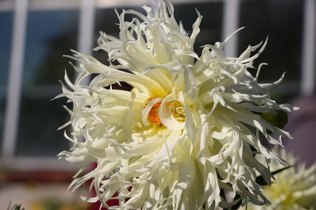 Fiore bianco fresco della dalia in un giardino botanico autunnale