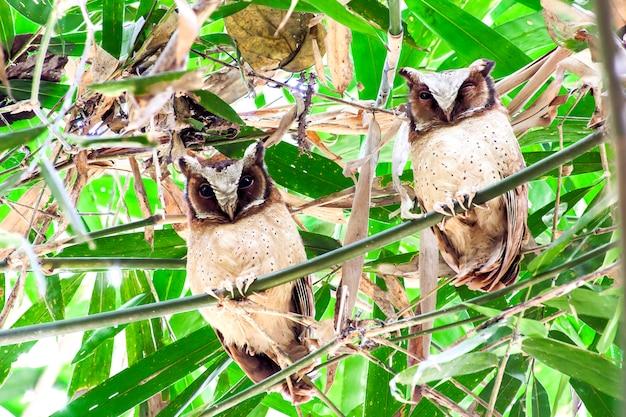 Civetta scops dalla fronte bianca (otus sagittatus)