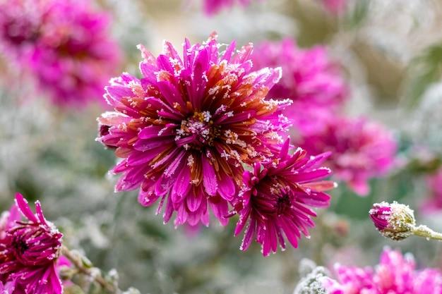 Gelo bianco sui fiori. i crisantemi rosa sono coperti di brina
