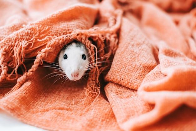 Il topo domestico decorativo divertente bianco annusa l'area e fa capolino da un visone in una coperta