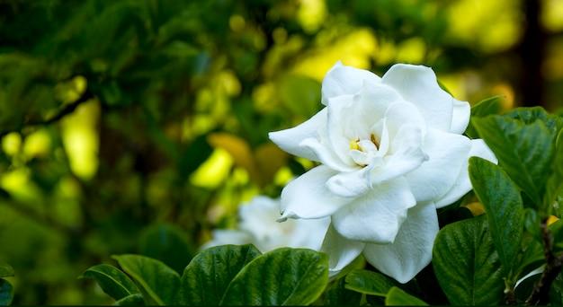 Fiore bianco di gardenia sul cespuglio vicino all'insegna per il sito web