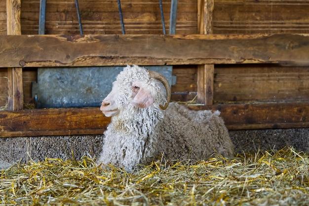 Capra bianca nel fienile capre domestiche nella fattoria carina una capra di lana d'angora