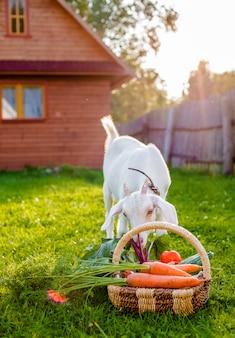 La capra bianca mastica la casa del villaggio delle verdure dell'azienda agricola all'aperto. il concetto di alimentazione sana.