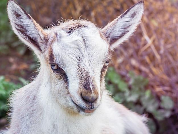 Fine bianca della capra in su su una priorità bassa confusa