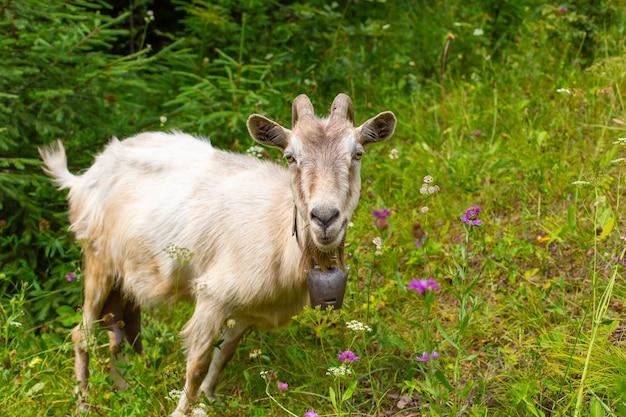 La capra bianca pascola nel campo delle verdi colline.