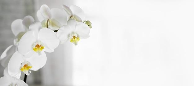 Sfondo grigio bianco con fiore di orchidea bianca sfondo di matrimonio san valentino spa e bellezza