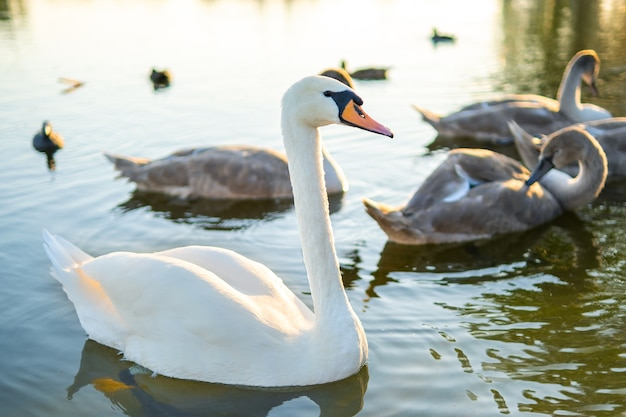 Cigni bianchi e grigi che nuotano sull'acqua del lago in estate.