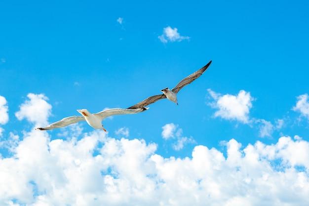 Gabbiano bianco in bilico nel cielo. volo dell'uccello. gabbiano su sfondo blu cielo.