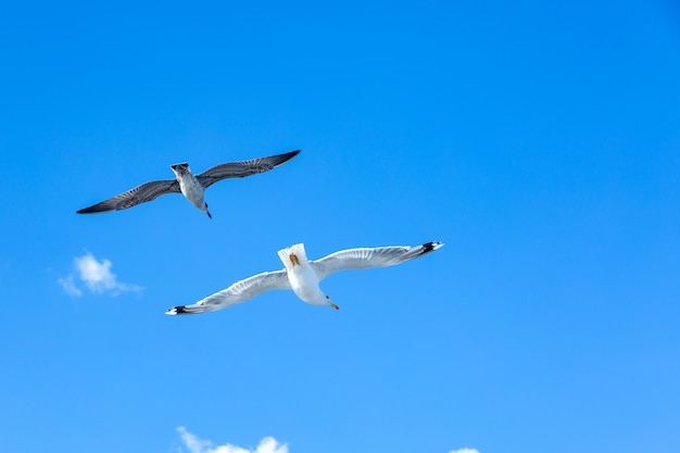 Gabbiani bianchi in bilico nel cielo. volo degli uccelli. gabbiano su cielo blu