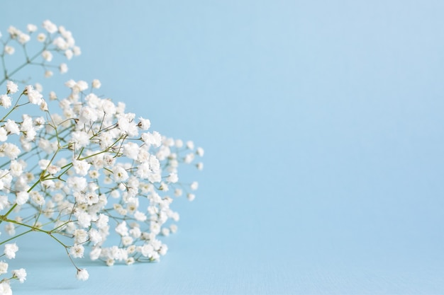Gypsophila bianca su sfondo blu tenue. Foto Premium