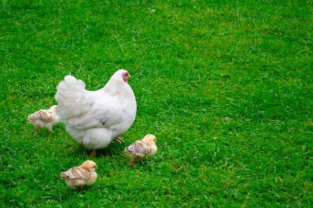 Una gallina bianca con piccoli polli cammina sull'erba verde. fattoria nel villaggio.