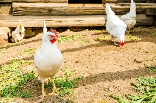Le galline bianche camminano liberamente nell'aia in cerca di cibo. polli nel primo piano della gabbia.