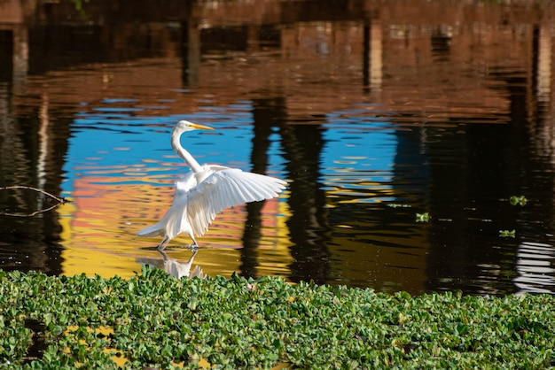 Airone bianco, bellissimo airone bianco nel suo habitat, laghi e zone umide in brasile, luce naturale, messa a fuoco selettiva.