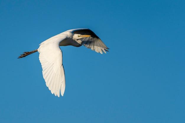 Airone bianco che vola all'alba nel parco naturale delle paludi di ampurdan.