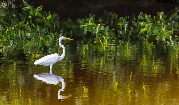 Airone bianco in piedi in un lago con il suo riflesso nell'acqua