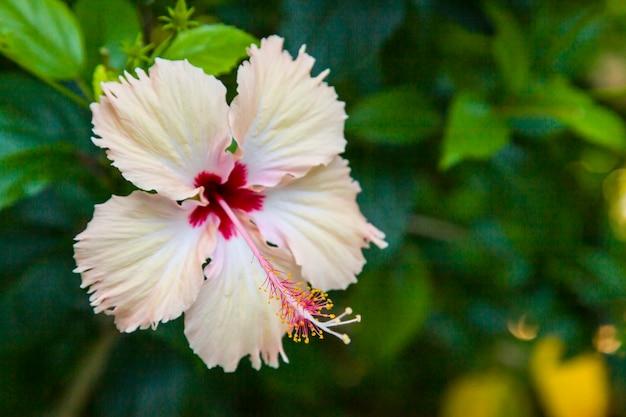 Fiore di ibisco bianco nella natura.