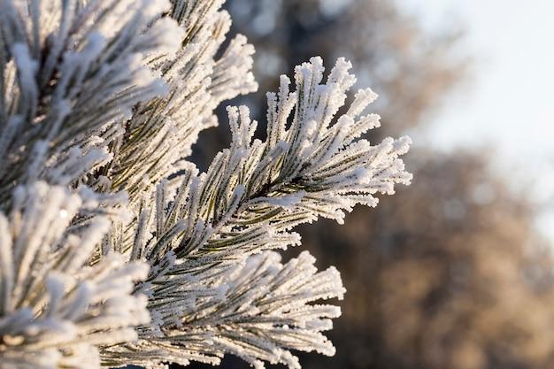 Brina bianca, lasciata sugli aghi di pino nella stagione invernale, primo piano dei rami
