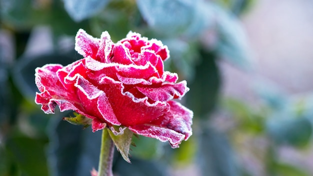 Brina bianca su una rosa rossa con uno sfondo sfocato